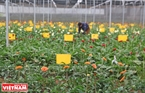 Hoa dong tien (Gerbera) is experimentally planted in an in vitro seed farm in Da Lat.