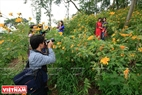 On weekends, many young people go to the place to take photographs of wild sunflowers. Photo: Tran Hieu
