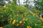 On the two sides of the path around the mountain are strips of beautiful wild sunflowers.  Photo: Viet Cuong.