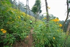 A corner of the strip of wild sunflowerson the path to Tan Vien Mountain. Photo: Viet Cuong