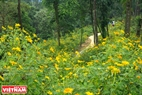 Strips of beautiful wild sunflowers on the two sides of the path around Tan Vien Mountain. Photo: Tran Hieu
