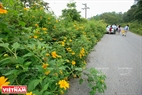 Visitors can behold the beauty of wild sunflowers on the path to the main area of this flower. Photo: Tran Hieu