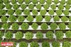 Một loại rau xà lách được trồng theo phương pháp thuỷ canh. Ưu điểm của mô hình này là thời gian thu hoạch ngắn (khoảng 25 ngày/vụ) nên nhà vườn có thể thu 13 vụ/năm.