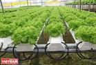 Cận cảnh các cây rau đặt trên ống thuỷ canh chứa nước dinh dưỡng.