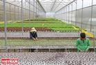 Một nhà kính trồng rau thuỷ canh theo công nghệ Thái Lan trong trang trại của gia đình anh Phan Tuấn Linh (Phường 5, thành phố Đà Lạt).