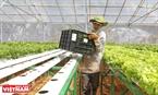 Một công nhân thu hoạch rau thuỷ canh tại nông trại Bạch Cúc (huyện Lạc Dương, Lâm Đồng).