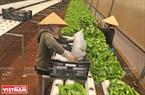 Nhân công đóng gói rau xà lách thuỷ canh tại nông trại trước khi đưa đi tiêu thụ.