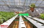 Công nhân đặt các chậu rau xà lách con vào ống thuỷ canh có chứa nước dinh dưỡng chảy liên tục suốt ngày đêm.