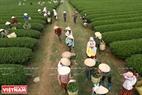 Khung cảnh nhộn nhịp trên những con đường giữa cánh đồng chè khi chè Mộc Châu vào vụ thu hoạch.