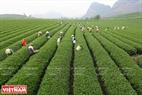 Hàng trăm bà con các dân tộc Kinh, Thái, Mông đang thu hoạch chè tại Thị trấn Nông trường Mộc Châu.