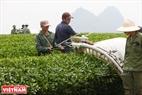 Công nhân thu hoạch chè bằng máy hái cho năng suất lao động cao.