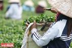 Nhiều người hái chè trang bị cho mình những con dao chuyên dụng để tăng năng suất thu hoạch.