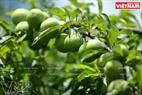Mận hậu Mộc Châu nổi tiếng giòn, thơm ngon bởi được trồng trong môi trường thiên nhiên trong lành.