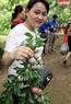 Một khách du lịch thích thú khi hái được cành mận trĩu quả.
