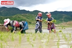 The boisterously working atmosphere on the terraced fields. Photo: Viet Cuong/VNP
