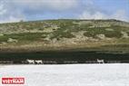 Những bầy hươu tuyết là chủ của những ngọn núi cao đầy tuyết giữa rừng Taiga bạt ngàn.