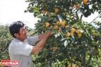 Người dân Đà Lạt thu hoạch những trái hồng chín vàng để chế biến hồng sấy theo công nghệ Nhật Bản.