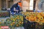 Hồng khi thu hoạch sẽ được phân loại, chọn những quả màu vàng rộm để sấy treo theo công nghệ Nhật Bản.