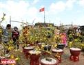 Mai vàng được xem là loài hoa đặc trưng và nổi tiếng nhất vào mùa xuân ở xứ Huế.