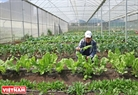 K.C Low checks his organic vegetables inside the greenhouse at Tuong Son farm.