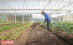 有機の野菜を栽培する前、土に栄養を補充するトゥオン・ソン農園の労働者