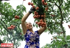 Growers enjoyed a rich lychee harvest this year, a boon for farmers with lychee prices at a record high.