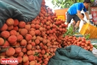 According to Lục Ngạn District People's Committee, lychee production in the district was estimated at 60,000 tonnes, down 25,000 to 30,000 tonnes compared with 2016.