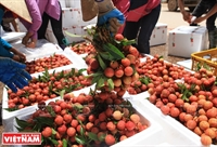 Luc Ngan district with sweeter lychee harvest season