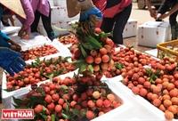 Урожай личи в уезде Лукнган