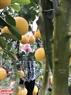 Chi Hoàng Thị Tĩnh đang miệt mài tỉa lá cây bưởi bonsai của gia đình mình.