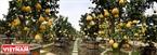 Sắc vàng rực rỡ của vườn bưởi nhà anh Hà Hằng ở thị trấn Văn Giang.