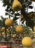 Những cây bưởi bonsai chơi Tết được chủ vườn đánh vào những chậu cây đẹp để bán cho khách.