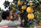 Anh Hoàng Văn Mạnh đang uốn thế những cây bưởi bonsai thành phẩm để phục vụ dịp Tết.