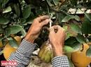 Đôi bàn tay khéo léo của người dân Văn Giang đang gép quả cho cây bưởi bonsai.
