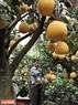 Anh Nguyễn Văn Tuân ghép quả cho những cây bưởi bonsai có gốc to và dáng cây đẹp.