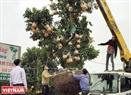 Những cây bưởi bonsai được vận chuyển đi các tỉnh lân cận để phục vụ nhu cầu chơi Tết.