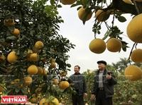 Bưởi bonsai Văn Giang phục vụ thị trường Tết