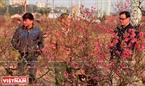 Khách đến tận vườn ông Công Văn Tùng (Phường Phú Thượng) để chọn mua đào.