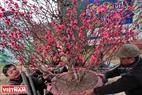 Những gốc đào đẹp nở hoa rực rỡ được khách mua tại vườn.