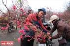Người dân Hà Nội đến các chợ hoa phường Phú Thượng để tìm mua những cây đào đẹp.