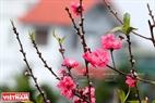 Hoa đào Phú Thượng có bông to và cánh hoa rất bền.