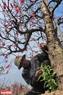 Ông Nguyễn Đình Tùng cắt tỉa cho cây đào cổ thụ chuẩn bị xuất bán vào dịp Tết Mậu Tuất.