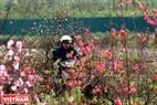 Vào những ngày cuối năm làng đào Phú Thượng lại nhộn nhịp người dân đến chọn mua đào về chơi tết.