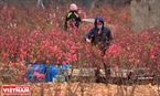 Phường Phú Thượng có hơn 100ha đất trồng đào, phục vụ nhu cầu chơi đào Tết của người dân Hà thành.