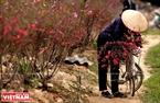 Sau mỗi buổi làm việc ngoài đồng, người dân Phú Thượng có thói quen tỉa những cành đào răm về bày ở nhà.