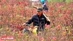 Người dân Phú Thượng gắn bó với nghề trồng đào từ hàng trăm năm nay.