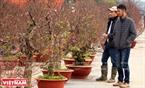 Những cây đào cổ thụ dáng bonsai được chủ vườn lựa chọn và đặt vào chậu để vận chuyển đi tiêu thụ.