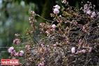 Những bông hoa anh đào Nhật Bản vẫn tươi tắn, rực rỡ trong suốt những ngày diễn ra Lễ hội.