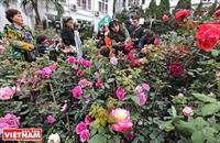 Hoa hồng Bulgaria khoe sắc giữa lòng Hà Nội