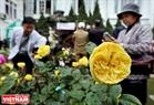 На фестивале также демонстрируется сорт розы из Франции, который был выращен Институтом генетики Министерства сельского хозяйства Вьетнама.